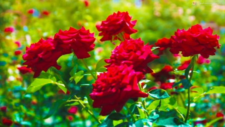 desktop wallpaper roses